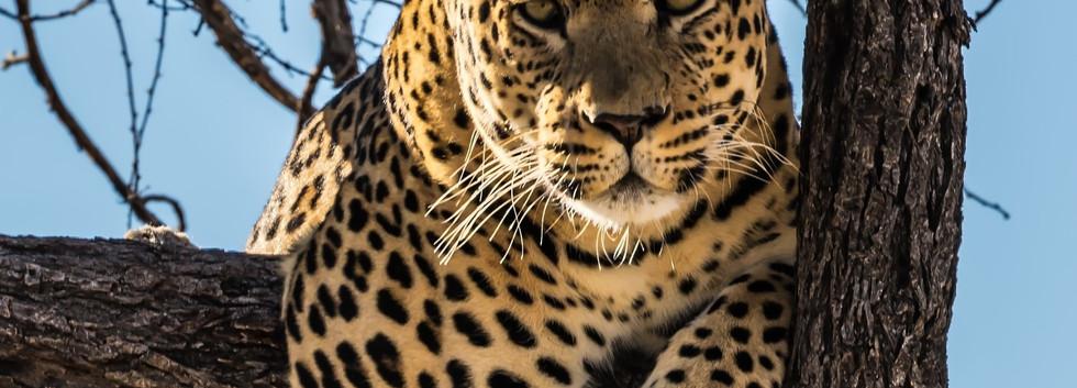 Leopard - Kafue