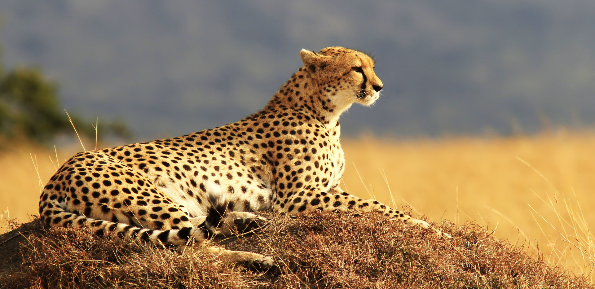 Cheeta in Kafue National Park
