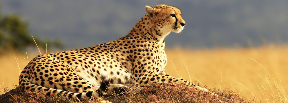 Cheeta in Kafue National Park
