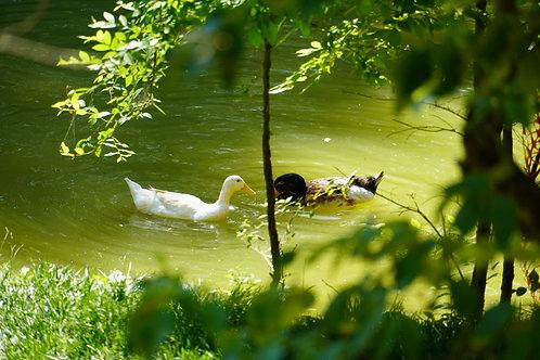 White Appleyard Ducklings -  Straight Run -