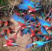 A terror of macaws, Peru