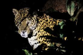 Camp jaguar, Peru