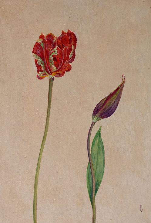 Rococo and Purple Lily Tulip