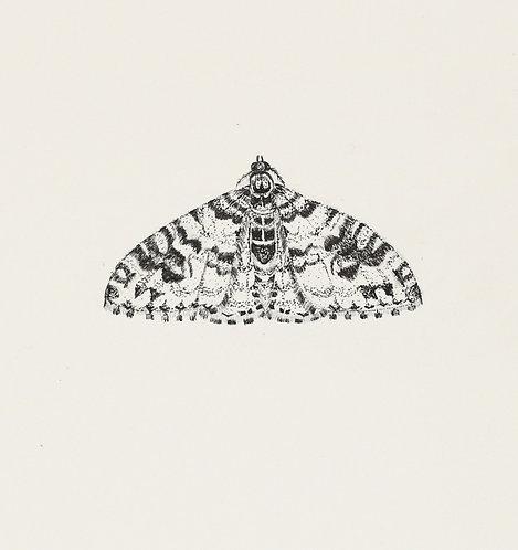 Garden Carpet Moth Original Drawing