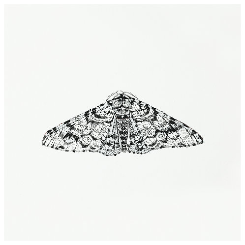 The Peppered Moth SOLD