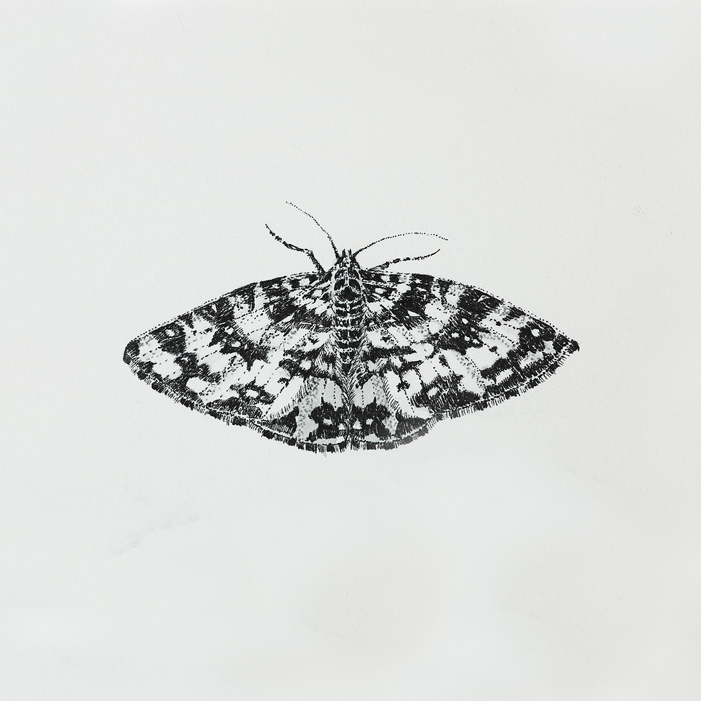 The Argent and Sable Moth Pen and Ink Drawing