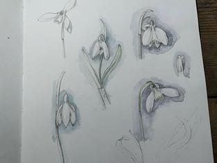 Snowdrop sketching