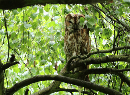 Sweet Suffolk Owl