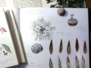 Sweet Chesnut, Ash Keys and a Garden Snail