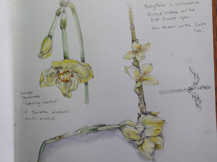 Sketchbook page of Narcissi and Forsythia