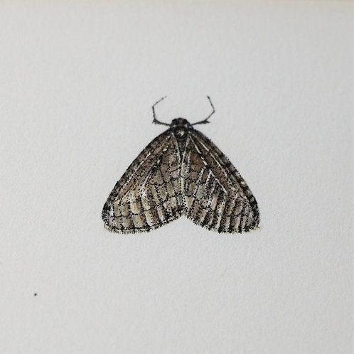 Winter Moth SOLD