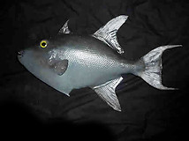 Large Trigger Fish