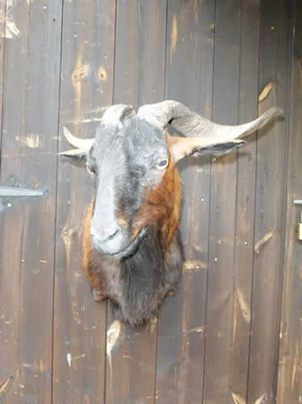 Spanish Ferrel Goat