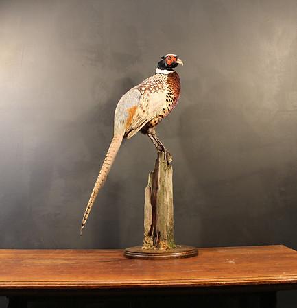 Cock Pheasant