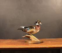Caralina Duck