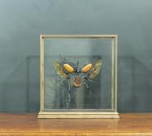 Large Exploding Beetle
