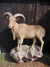 Barbury Sheep