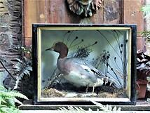 Widgeon Duck