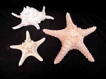 Arthritic Spider Conch & Starfish