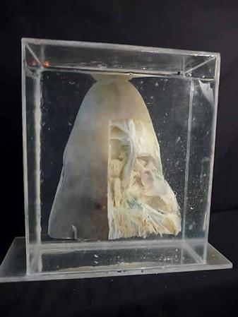 Dissected Shark Head