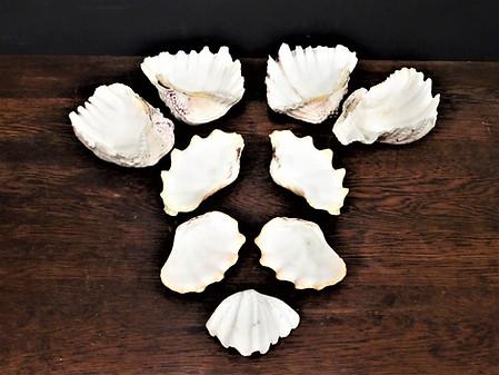 Small Clam Shells