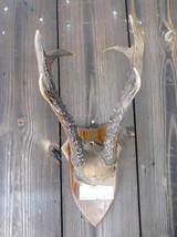 Manchurian Roe Deer