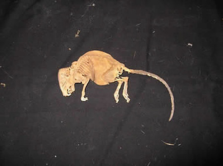 Mummified Rat