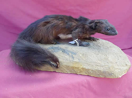 South African Black Mongoose