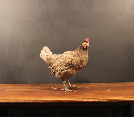 Farmyard Hen