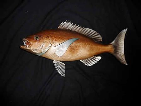 Bronze Sea Fish