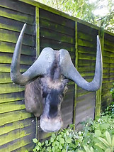 White Tailed Gnu