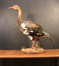 African Spur Winged Goose
