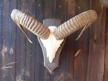 European Ram