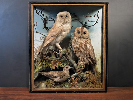 Barn Owl / Tawny Owl / Plover