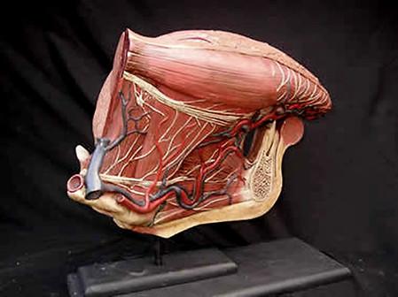 Human Toung