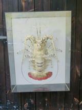 Giant Crayfish