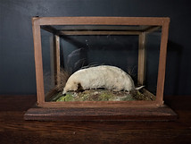 White Mole
