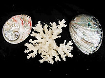 2 Avalone Sea Shells & Coral