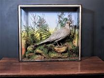 Ornamental Pheasant