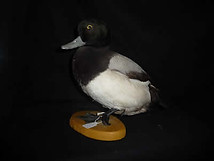 Scualp Duck