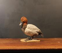 Pochard Duck