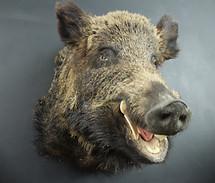 Uropean Wild Boar