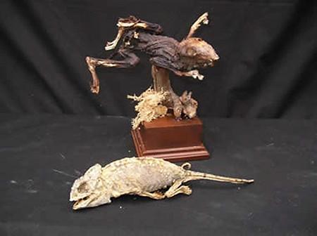 Mummified Frog & Chameleon