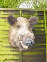 Wilsd Boar