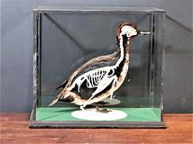 Teal Duck / Skeleton