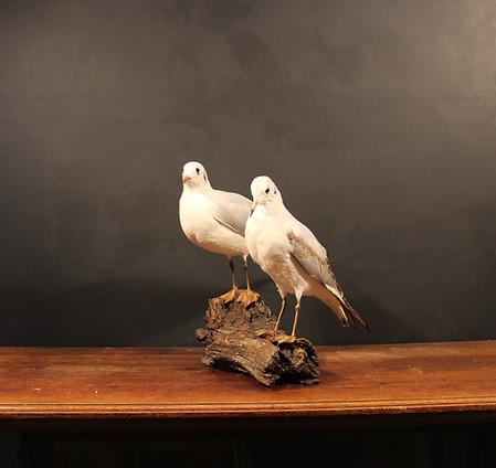 Pair of Sea Gulls