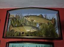 Pair of Brown Trout