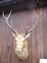 Indian Samba Deer