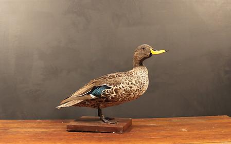 Yellow Billed Duck