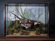 Ornamentel Pheasant
